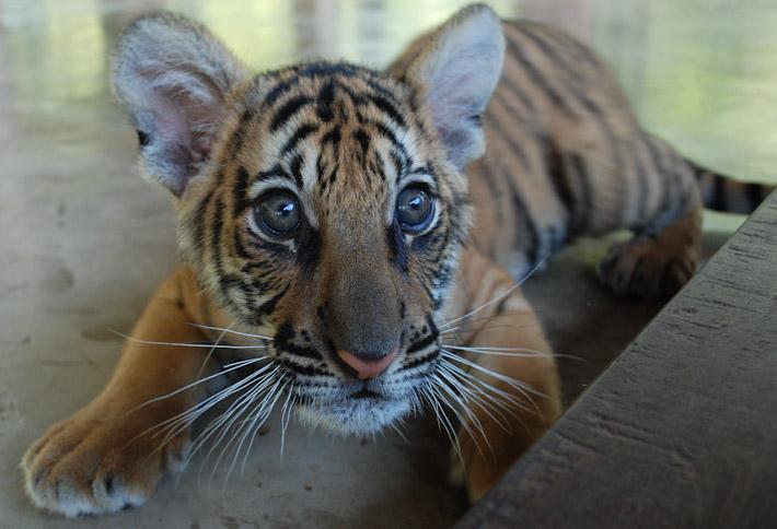 baby tiger tiger kingdom chiang mai