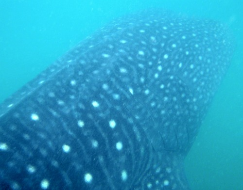 Whale Shark Interaction - Donsol, Philippines