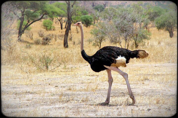 Osterich in Tarangire National Park safari