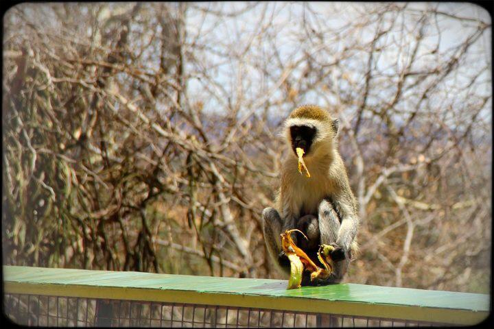 Monkey eating banana Tarangire National Safari Park