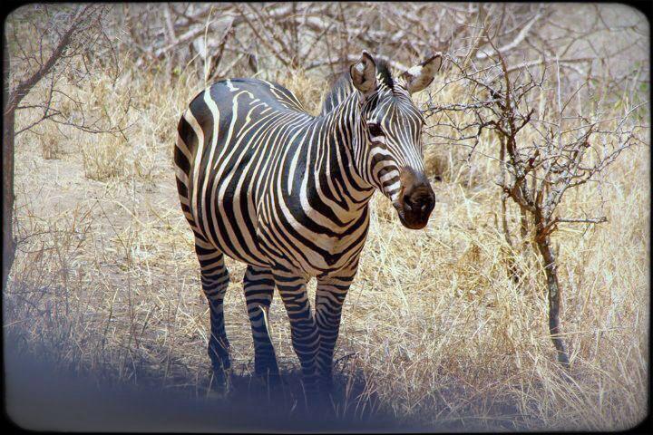 zebra in Tarangire National Safari Park