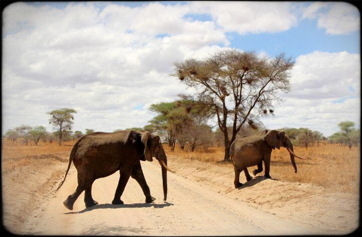 elephants in Tarangire National Safari Park