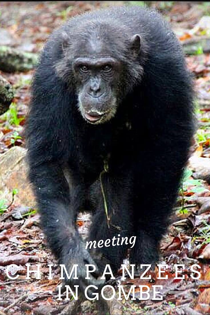Meeting the infamous Chimps in Gombe National Park, Tanzania. Walk in the footsteps of Jane Goodall. Read more about the experience here..