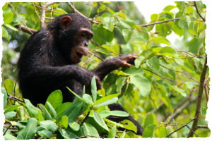 Thumbnail image for Meeting the Famous Chimpanzees of Gombe