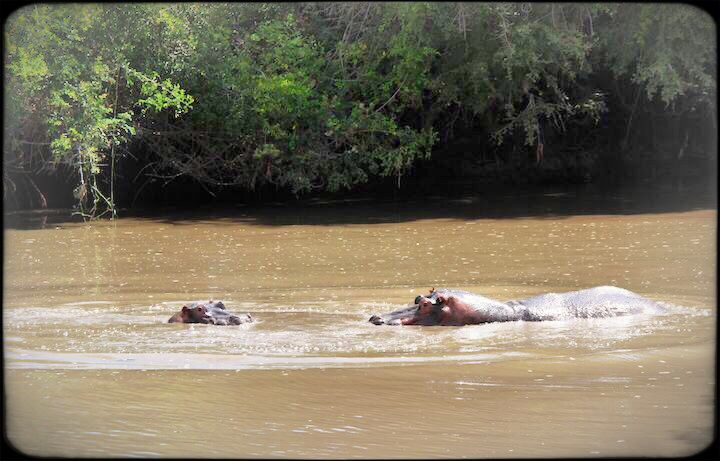 Hippos in the serengeti's western corridor