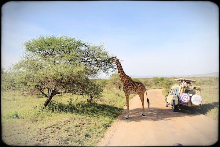 giraffe stopping safari trucks to eat