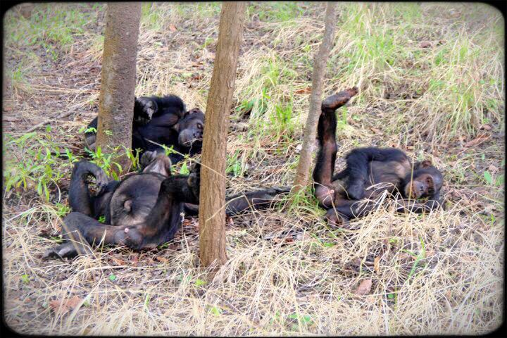 Chimps in Gombe