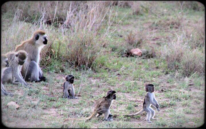 baby monkey playing in the serengeti tanzania
