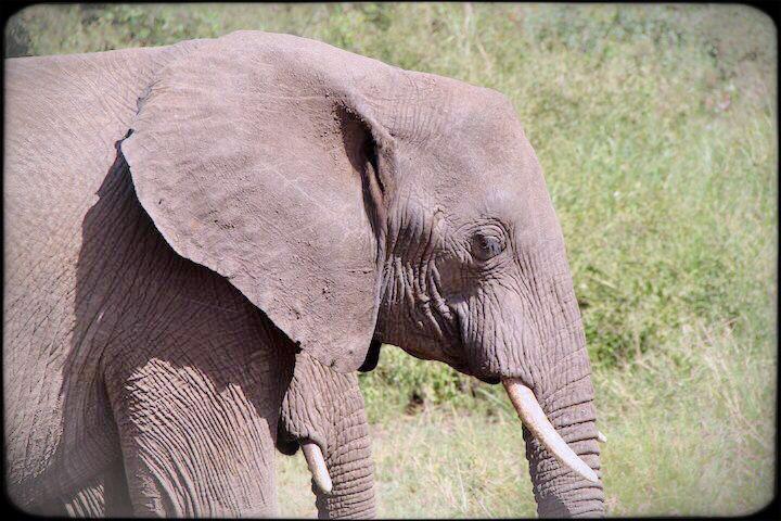 Elephant in the Serengeti Tanzania