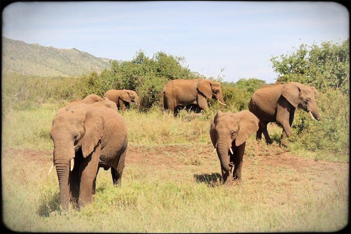 Elephant family in the serengeti Tanzania