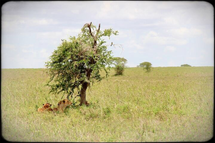 Female lions in the shade waiting to kill in the serengeti Tanzania