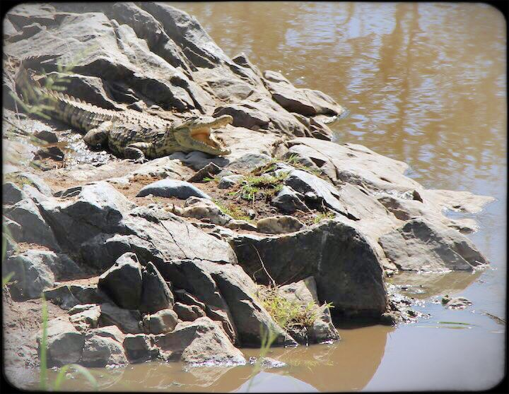 baby crocodile in the serengeti Tanzania