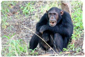 Thumbnail image for Planning your trip to Gombe National Park