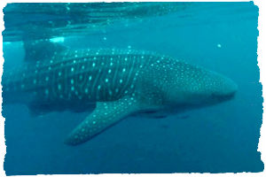 Thumbnail image for Swimming with Whale Sharks, Mafia Island, Tanzania